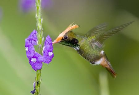 Humming-Bird-II.jpg