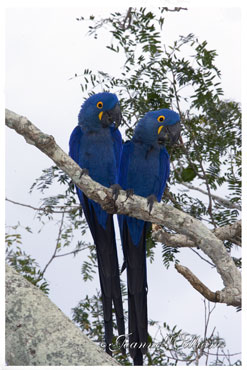 Hyacinth-Macaws.IV-Lg.jpg