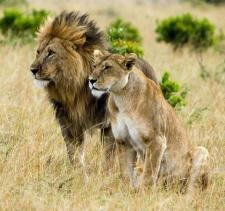 Lion-Couple.jpg