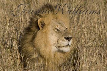 Lion-Male.jpg