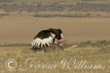 Ostrich-Coupling.jpg