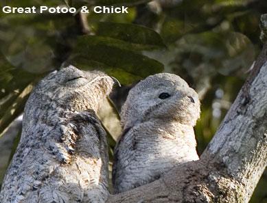 Potoo-&-Chick.jpg