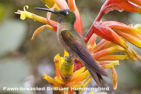 Rufous-tailed-Hummingbird-2.jpg