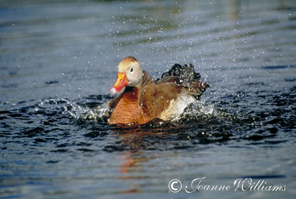 Splashing-Duck.jpg