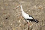 Stork-II.jpg