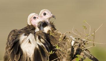 Vulture-Babies.jpg