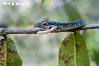 Whip-Snake.jpg