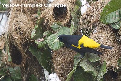 Yellow-rumped-Cacique.jpg