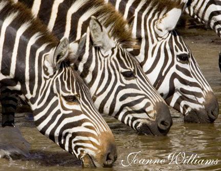Zebra-Trio.jpg