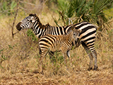 Zebra Photography Workshops